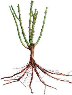 Bare root